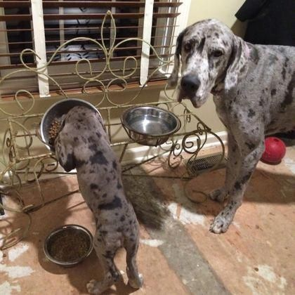 More About The Affectionate Great Danes Personality