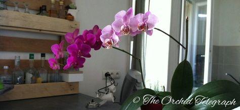 Que faire lorsque mon orchidée n'est plus en fleur?