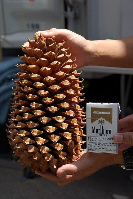 Coulter Pine Tree Cones Jumbo Size 9 Inches Unique Giant Pine Cones With Images Pine Cones Pine Cones For Sale Large Pine Cones