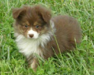 Stunning Mini Australian Shepherd Full Grown In 2020 Cute Animals Australian Shepherd Aussie Puppies
