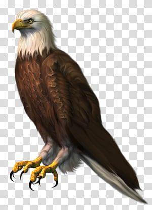 Bald Eagle Eagle Brown And White Eagle Transparent Background Png Clipart Light Background Images Love Background Images Background Images Hd