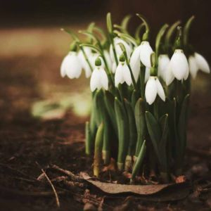 What Is The Fragrance Of Snowdrops In 2020 Friendship Pictures Covered Garden Fragrance