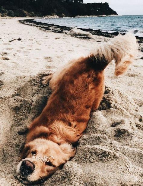 Hund (Retriever) im Sand