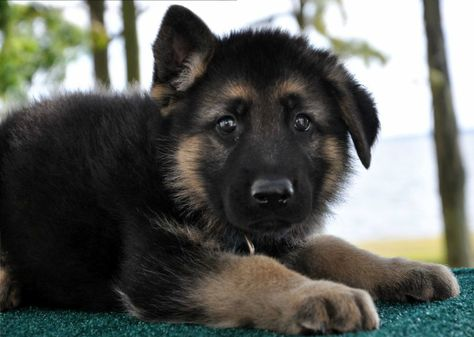 Short Haired German Shepherds Puppies For Sale With Images