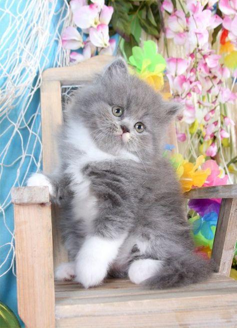 Blue & White Teacup Persian Kitten White persian kittens