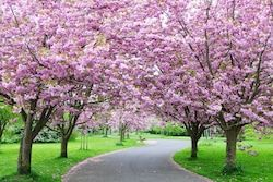 Stock Image Nature Cherry Blossom Festival Pink Flowering Trees Trees For Front Yard