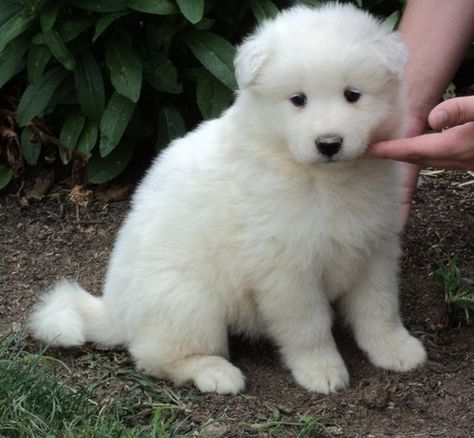 Mini Samoyed Puppies Samoyed Puppy Puppies Samoyed Puppies For