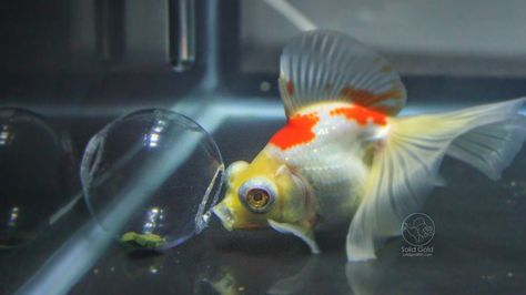 Goldfish Learning To Use An Interactive Feeder