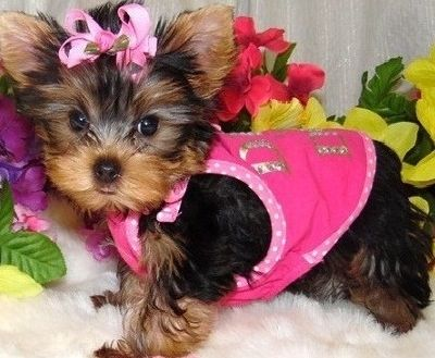 Gorgeous Tiny Yorkie Puppies For Sale Yorkie Puppy For Sale Puppies For Sale Yorkshire Terrier