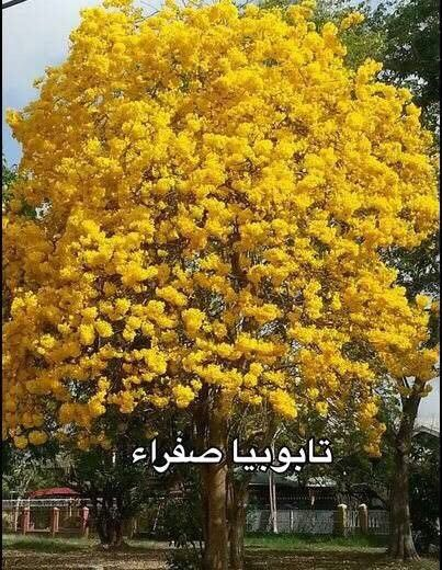 Pin By روفان Tv On بنات وحديقة Flowering Trees Garden Trees Colorful Trees