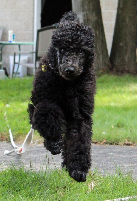 Brodie The Royal Standard Poodle Has A Spring In His Step