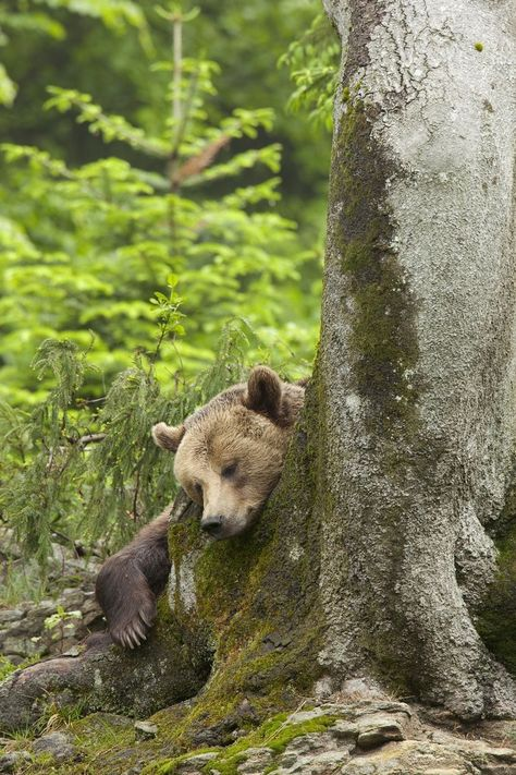 Sleeping Bear hugging tree, trees make good pillows! #grizzlybear