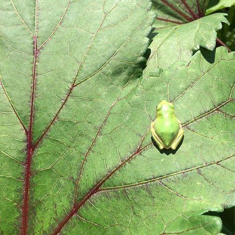 オクラの葉の上のカエル オクラのぞいてたらカエル見つけた Vegetables Garden 花 畑 菜園 家庭菜園 野菜 Kitchengarden Harvest Gardening Cairn Cairnterrier Dog Uri ケアン ケアーンテリア ケアンテリア 家庭菜園