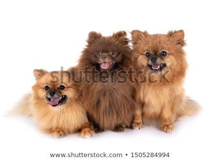 Stock Photo Young Pomeranians In Front Of White Background Pet Dogs Pets Animals