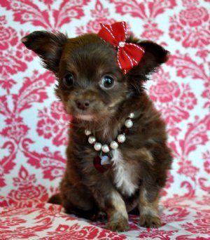 Tiny Chocolate Long Hair Chihuahua Princess Sold Moving To
