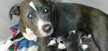 Pin On Pitbull Puppies