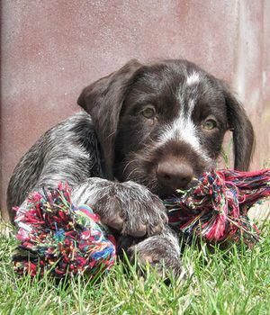 German Wirehaired Pointer Breed Info Pictures Characteristics Hypoallergenic No Germanshorthairedpointer German Wirehaired Pointer Pointer Puppies Gsp Puppies