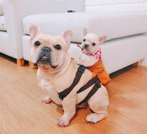 These Cute Little Dog Backpacks Lets Them Hold Their Puppies On Their Back