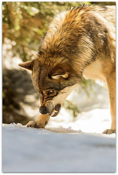 Wolf hunting mice, waiting for the arrival of big game to migrate. Wolves consume dozens of mice daily.