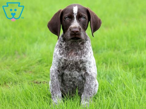 Buzz German Shorthaired Pointer Puppy For Sale Keystone Puppies Pointer Puppies Gsp Puppies German Shorthaired Pointer