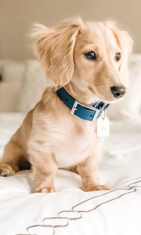 12 Amazing Reasons Dachshunds Are The Cutest Dogs On The Earth - Dachshund Bonus Dachshund Breed, Long Haired Dachshund, Dachshund Love, Golden Dachshund, Long Hair Daschund, Dapple Dachshund Puppy, Weenie Dogs, Pet Dogs, Chihuahua Dogs