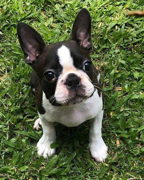 Boston Terrier Dogs on Twitter