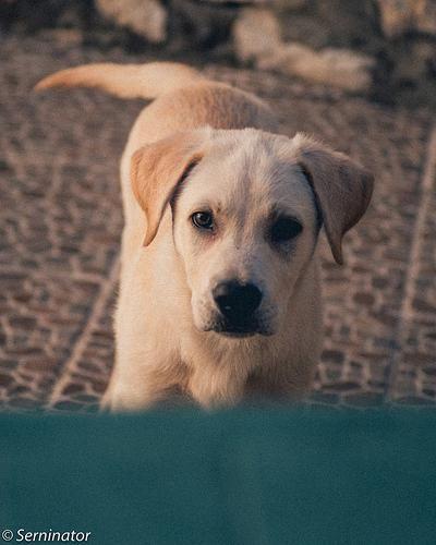 Labrador Cross Awesome Labradorcrosspuppies Labradorlonghair