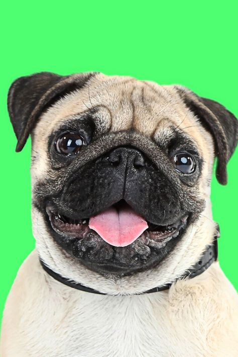 Funny Cute And Playful Pug Dog On Green Background In 2020