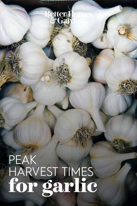 Unlike its spring-planted onion cousins, garlic is planted in fall and harvested the following summer, in late July or after. #vegetablegarden #gardening #gardenideas #whentoharvestproduce #bhg