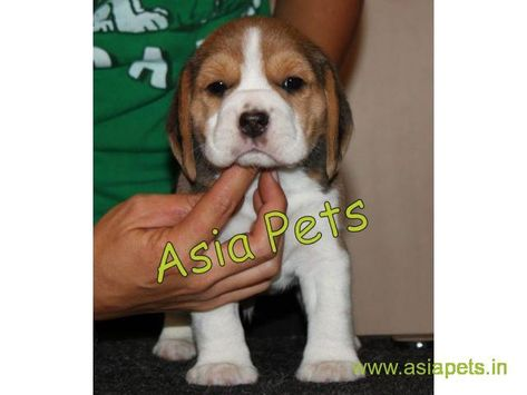 Beagle puppy for sale in Gurgaon Best Price Beagle puppy