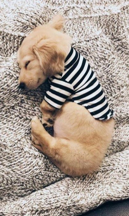 Top Funny Dachshund Sleeping Positions And What They Mean In 2020