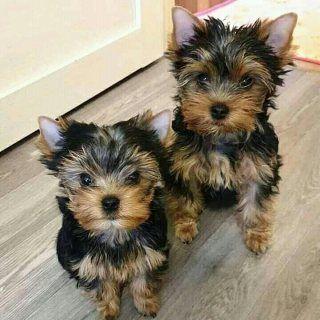 كلاب للبيع في دبي تواصل عبر الواتساب عبر الواتساب 13233645209 الحيوانات الأليفة العائلية الرائعة لديها فضلات لا تصدق من كل Yorkie Yorkshire Terrier Puppies