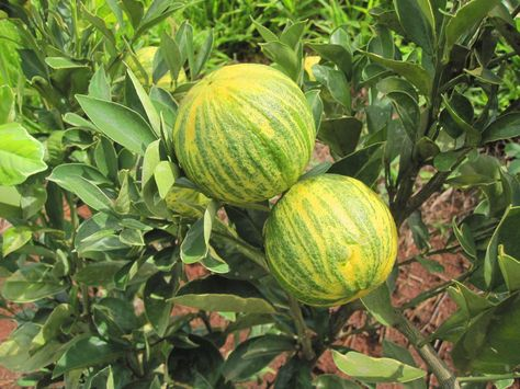 Laranja Melancia Citrus Sinensis Alberi Da Frutto Frutta