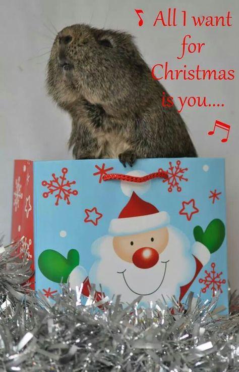 Guinea Pig at Christmas