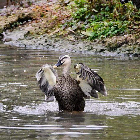 #slimbridge #wwt #icu_britain #rsa_nature #ukpotd #ig_cameras_united #royalsnappingartists #landscape_lovers #splendid_shotz #rsa_nature_fauna #rsa_macro  #ig_britishisles #landscape_captures #natures_best_shots #jj_naturelover #nuc_member #natgeohub #capturingbritain #lovegreatbritain #natureshooters #rspb #birdwatching #twitching #duck #duckface #rsa_water #rsa_rural #fiftyshades_of_nature #splendid_reflections #visitbritain by rhi_create