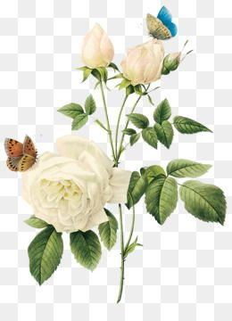Free Download Rose Flower White White Rose Png Image Flower White Rose Png Picture Png 1200 Pink Flowers Background Flower Bouquet Drawing Flowers Bouquet