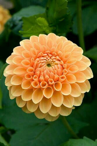 Pin By Mona Moni On Dahlia Beautiful Flowers Dahlia Flower Unusual Flowers