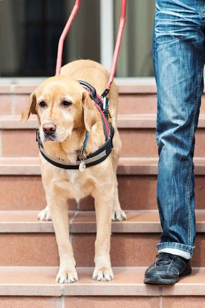 How To Train Your Blind Dog To Walk Down Stairs Dogs Dog