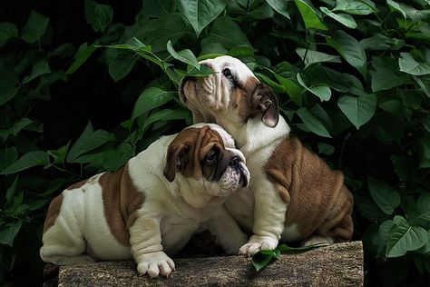 Sweet Couple English Bulldog Puppies Bulldog Puppies Puppy Sitting
