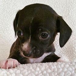 Bridgeton Mo Dachshund Meet Pogo A Dog For Adoption Pet