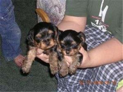 Free Yorkshire Terriers Puppies For Sale Yorkie Puppy Yorkshire Terrier Puppies Puppies For Sale