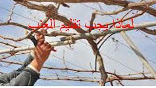 البيت العربي لماذا يجب تقليم العنب
