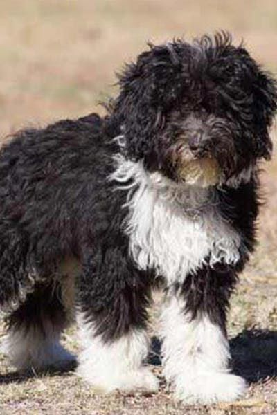 Bordoodle Dog Breed Facts And Information Wag Dog Walking Bordoodle Dog Breeds Dogs