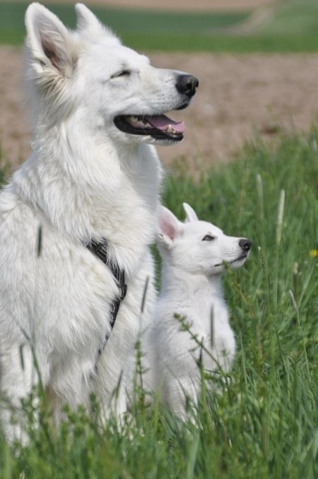 White Swiss Shepherd Dog Known As The Berger Blanc Suisse In