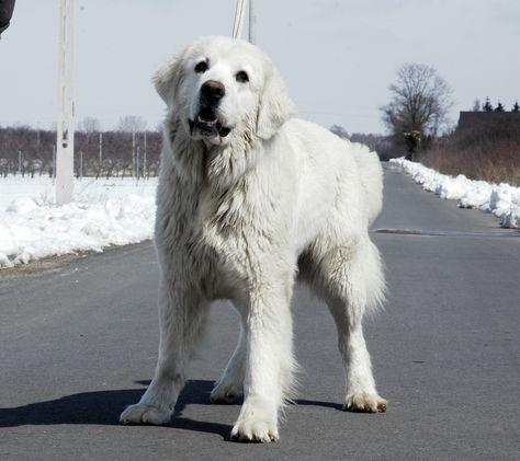 Tesknota Gwiazda Podhala Golden Retriever Sheepdog Dogs