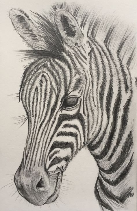 Zebra Art Print By Cameron Hallenbeck X Small In 2020 Zebra