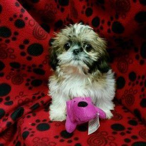 Shih Tzu Shihtzu With Images Shih Tzu Puppy Shih Tzu Puppies
