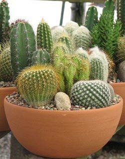 10 in cactus dish.jpg (316×250)