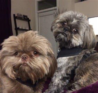 Shih Tzu Dogs No Tear Stains Shih Tzu Shih Tzu Dog Puppy Lover