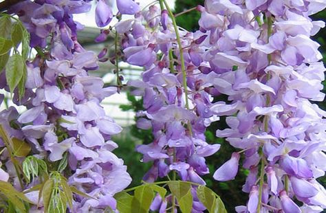 Wisteria Lavender Falls By Garden Debut 555 Plants Vines